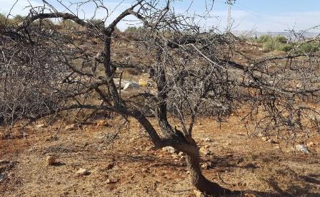 درختان زیتون نماد مقاومت مردم فلسطین دربرابر اشغالگری