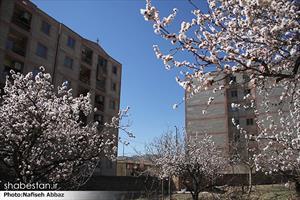 شکوفه های بهاری در اراک