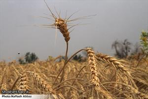 برداشت گندم در اراک