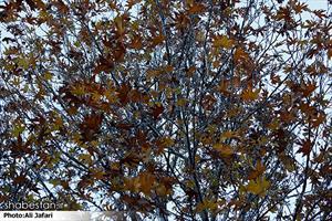 پاییز برگ ریزان ایلام