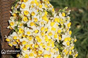 برداشت گل نرگس از نرگس زارهای خفر جهرم فارس