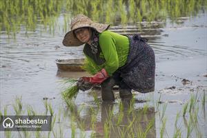 نشاء برنج در شالیزارهای گیلان