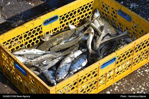 صید ماهی در سواحل بندرانزلی