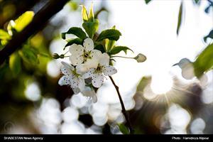 شکوفههای بهاری در رشت
