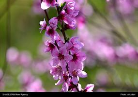 شکوفه های بهاری درایلام