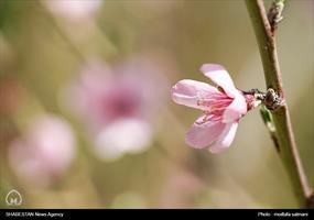 شکوفه های بهاری در یزد