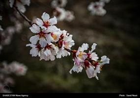 شکوفه های بهاری ارومیه