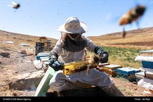 برداشت عسل