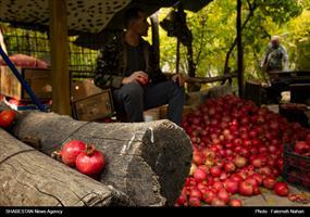 برداشت انار در قصردشت شیراز